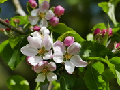 Apple Blossom Now Bursting With Colour