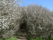 Blackthorn blossom tunnel