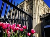 Sunny castle tulips