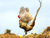 Pheasant showing off.