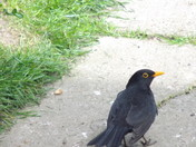 THE MALE AND FEMALE BLACKBIRDS