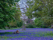 Blanket of Bluebells