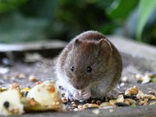 Victor the Vole