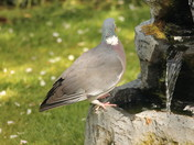 Tail-less Wood Pigeon