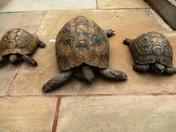 Trio of Tortoises.