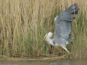 Grey Heron catches its Breakfast