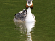 Grebes day out