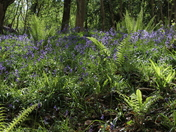 Bluebell Walk in Hay Wood, Hutton
