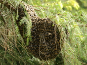 Swarm of Bees!