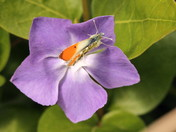Orange Tipped Butterfly on Periwinkle