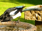 Magpie has a mouthful of mealworms.