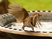 Robin takes off with a mealworm.