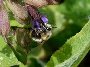 Ashy Mining Bee?