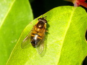 Hoverfly epistrophe eligans