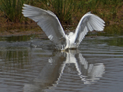 A Little Egret dives in for a meal