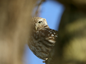 Little Owl hiding behind a branch.