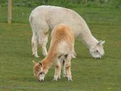 Alpacas at Hemblington