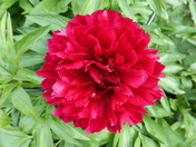 Growing life of Peony Flower