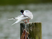 The Common Terns are back