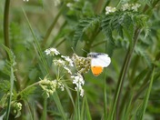 Romancing the orange tip