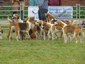 Parade of the hounds by Easton Harriers.