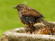 Bath time for dunnock