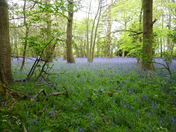 Just Bluebells
