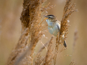 Strumpshaw Sedge Warbler