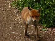 Fox in the Valentine Park Ilford