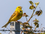 Whitethroat Yellowhammer duet