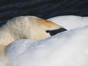 Dream: I want to be a beautiful Swan