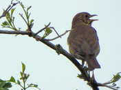 Thrush in full cry at the top of a tree