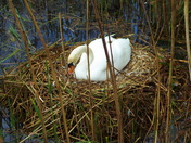 Swan on nest at riverside
