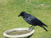 Crow quenching his thirst