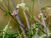 Whitethroat in cow parsley
