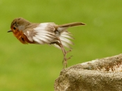 White winged Robin.