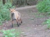 fox coming for dinner
