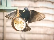 Starlings battle for coconut