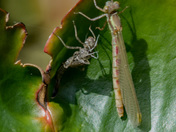 Male Large Red Damselfly newly emerged from Nymph exoskeleton
