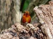 Red ,red Robin came bobbin along