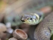 Male grass snake