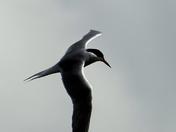 Common Tern over Waveney Valley