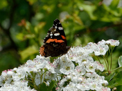 Red Admiral.