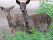 Fallow Deer & Fawn