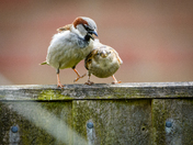 Sparrows on our fence