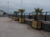New Palm Trees on Mamhead Slipway