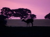 Fallow deer in the field at dusk