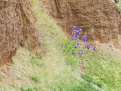 Irises Growing Up The Cliff Face