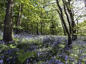 Wavenney Valley Bluebells near Harleston