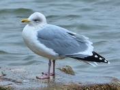herring gull hunstanton beach